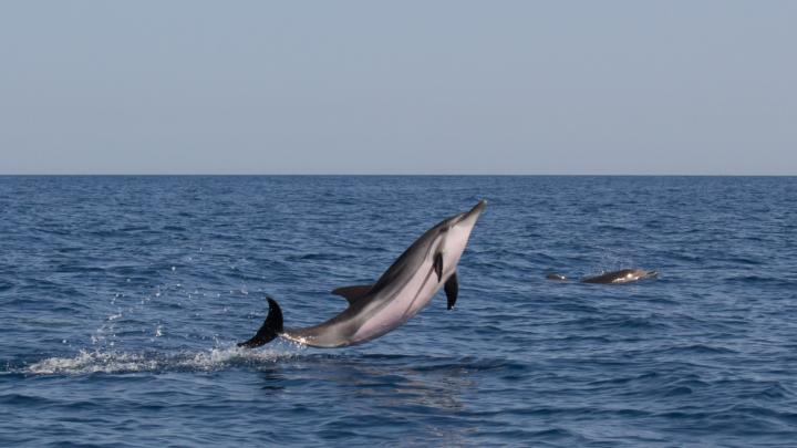 """Ambiente: MONITORAGGIO SPECIE MARINE PROTETTE NEL GOLFO DI CATANIA:  ECCO IL VIDEO SULLA RICERCA E CONSERVAZIONE DELLA CETOFAUNA I biologi marini sono già al lavoro per strutturare le attività delle """"Settimane del Mare"""" 2022 ."""